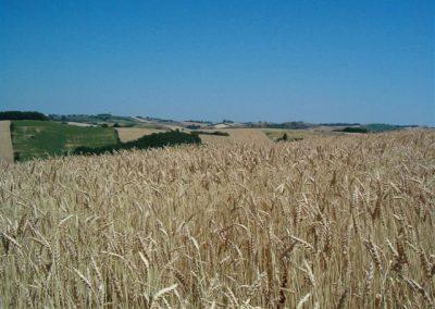 Champ de blé bio